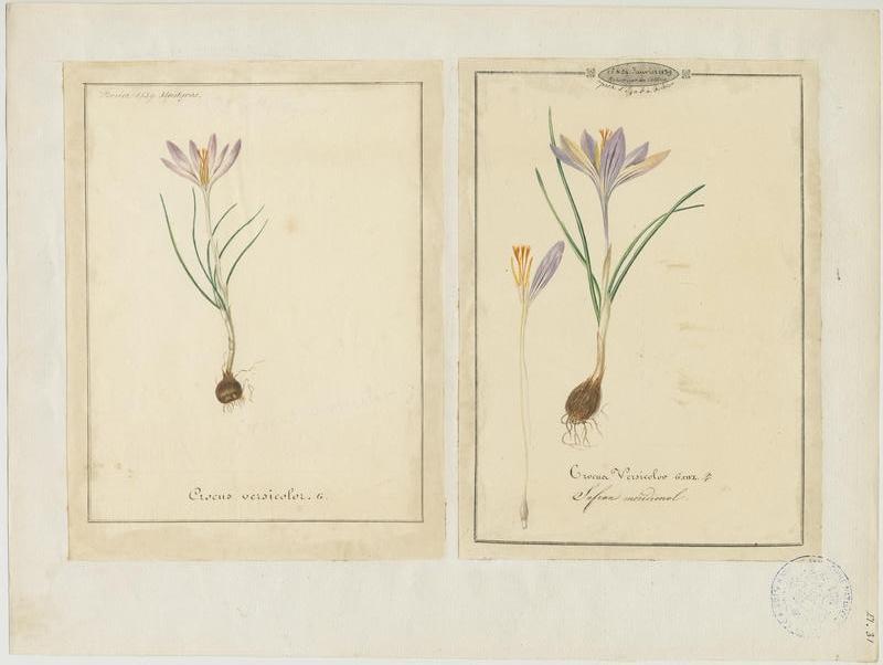 BARLA Jean-Baptiste (attribué à) : Safran méridional, plante à fleurs
