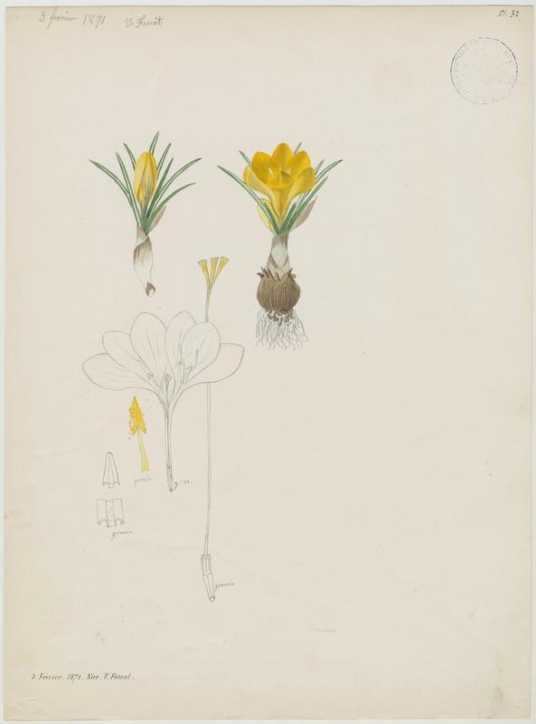 FOSSAT Vincent (aquarelliste, peintre) : Crocus, plante à fleurs