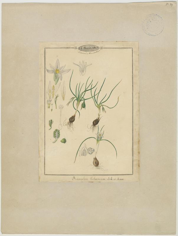 Romulée columnaire ; Romulée de Colomna ; Romulée à petites fleurs ; plante à fleurs_0
