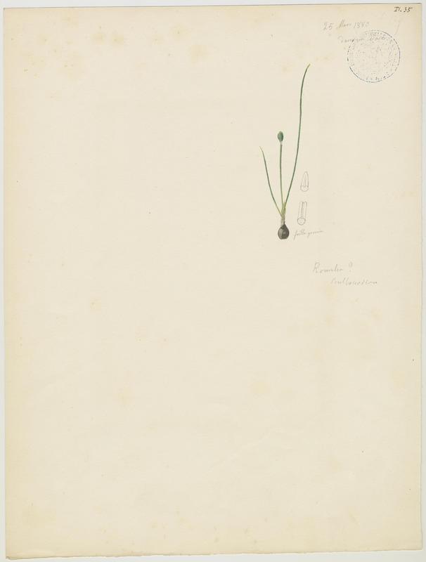 BARLA Jean-Baptiste (attribué à) : Romulée, plante à fleurs
