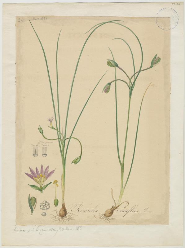 Romulée ramifiée ; plante à fleurs_0