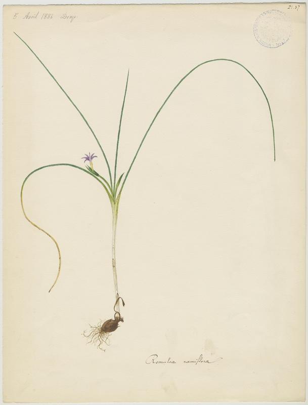 BARLA Jean-Baptiste (attribué à) : Romulée ramifiée, plante à fleurs