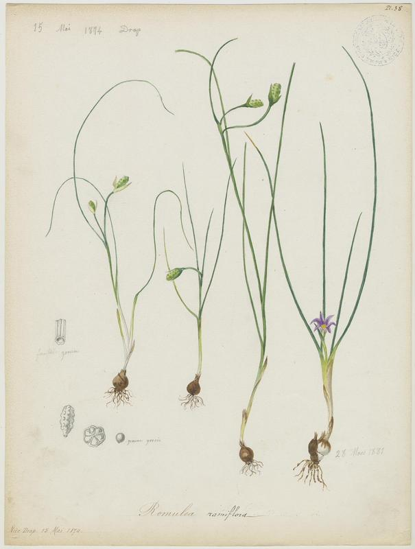 Romulée ramifiée ; plante à fleurs