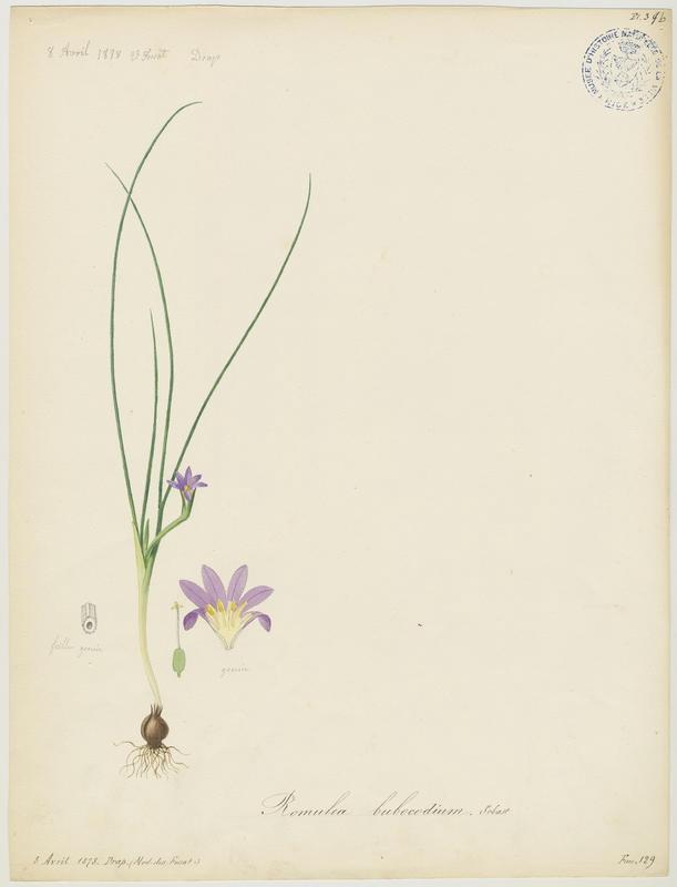 Romulée bulbocodium ; Iris de Provence ; plante à fleurs_0