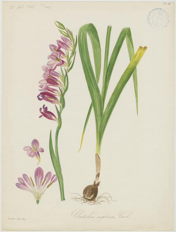 BARLA Jean-Baptiste (attribué à) : Glaïeul de Byzance, plante à fleurs