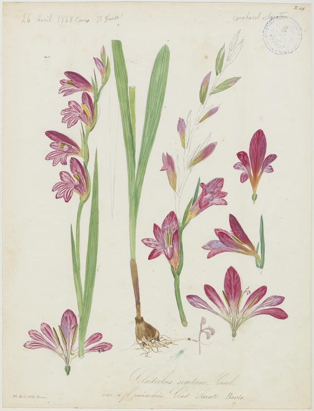 FOSSAT Vincent (aquarelliste, peintre) : Glaïeul de Byzance, plante à fleurs