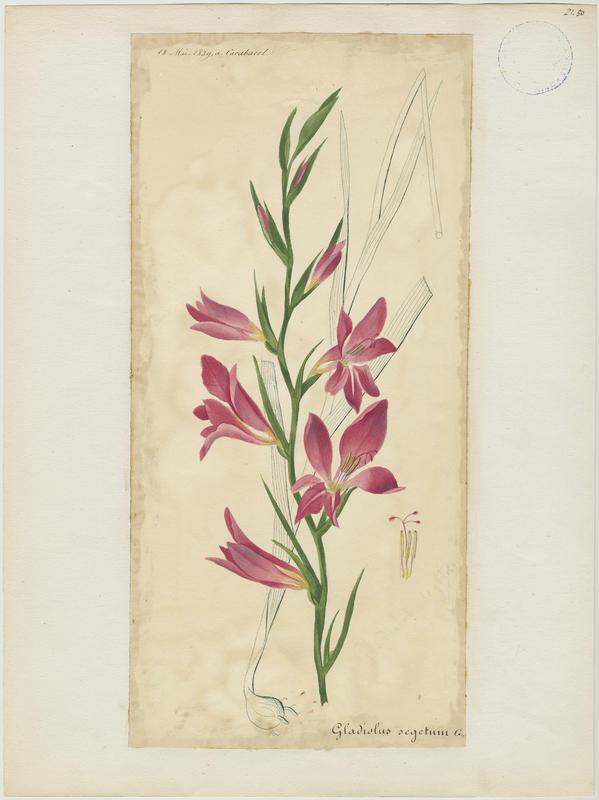 Glaïeul de Byzance ; plante à fleurs