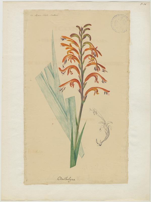 Chasmanthe ; plante à fleurs_0