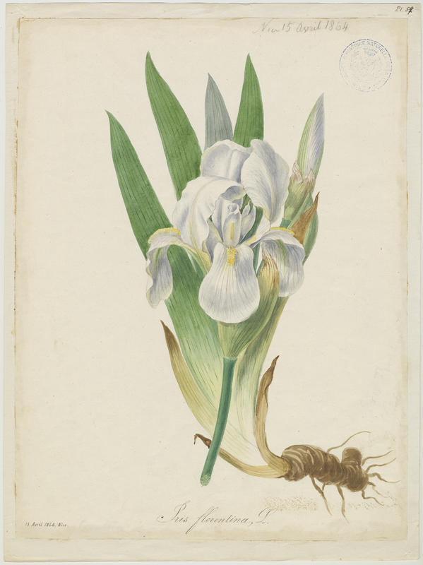 Iris de Florence ; plante à fleurs_0