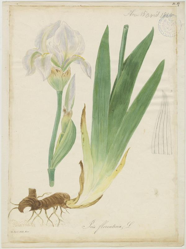 BARLA Jean-Baptiste (attribué à) : Iris de Florence, plante à fleurs