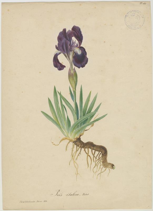 Iris des garrigues ; Iris nain ; plante à fleurs