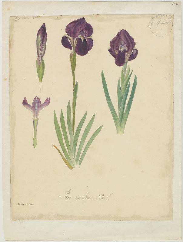 BARLA Jean-Baptiste (attribué à) : Iris des garrigues   ;Iris nain, plante à fleurs