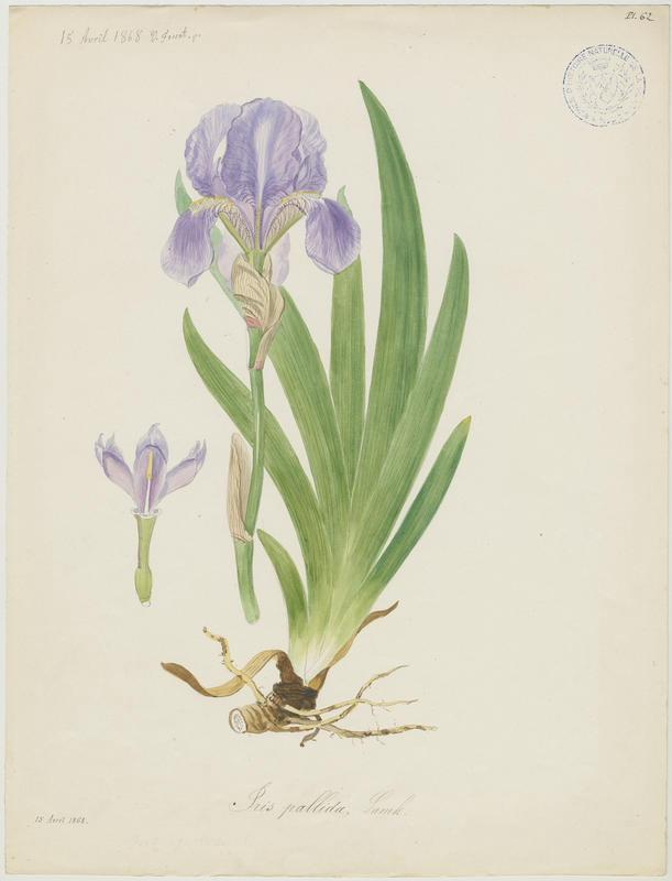 Iris pâle ; plante à fleurs_0