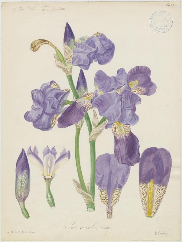 FOSSAT Vincent (aquarelliste, peintre) : Iris, plante à fleurs
