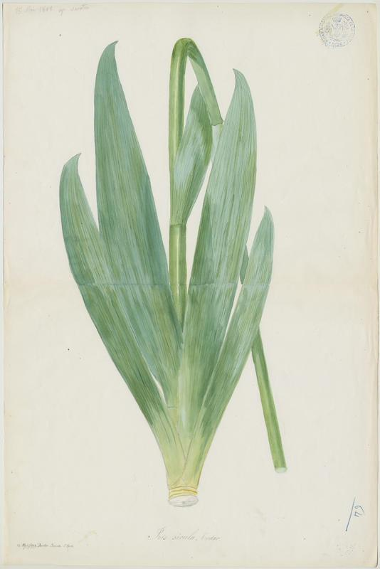 Iris ; plante à fleurs_0