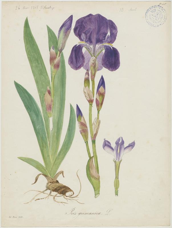 Iris d'Allemagne ; plante à fleurs_0