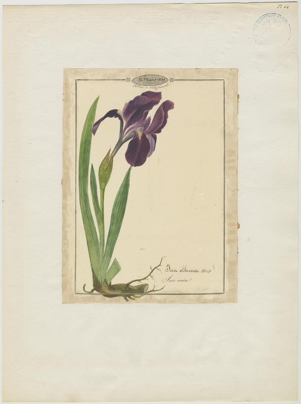 BARLA Jean-Baptiste (attribué à) : Iris des garrigues, Iris nain, plante à fleurs