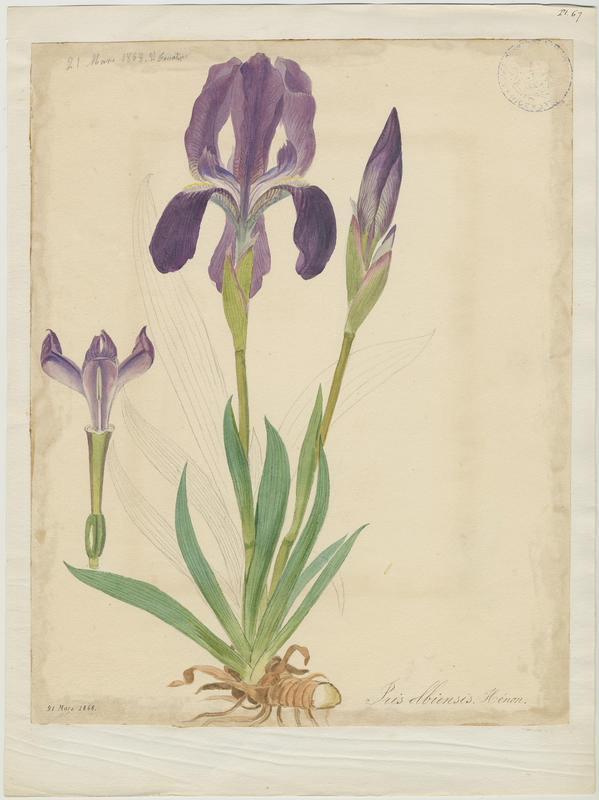 Iris des garrigues ; Iris nain ; plante à fleurs_0