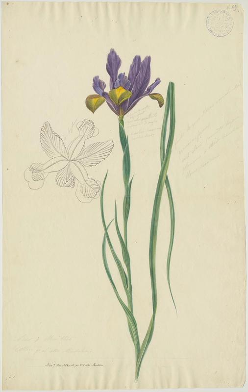 BARLA Jean-Baptiste (attribué à) : Iris, plante à fleurs