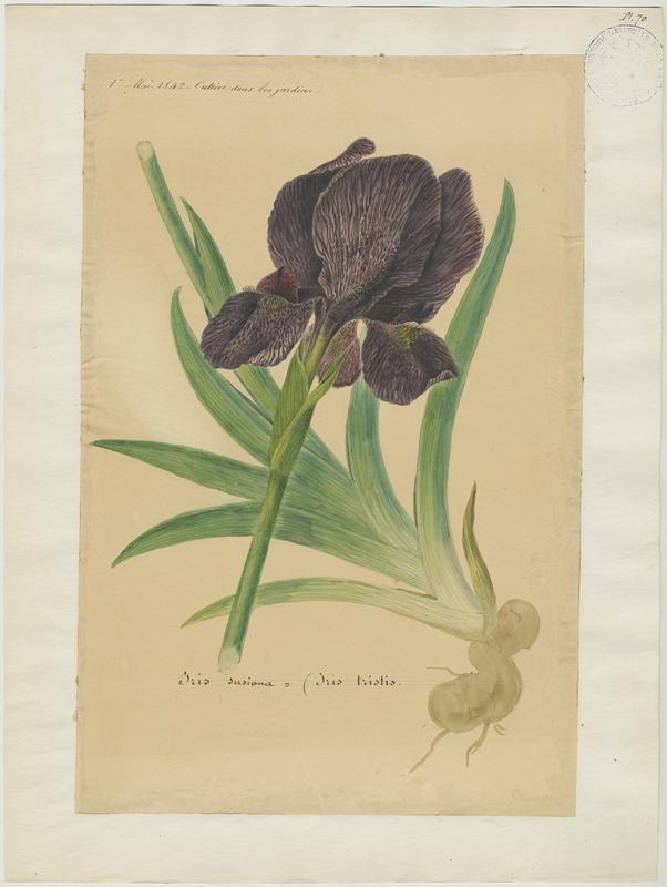 Iris susiana ; plante à fleurs_0