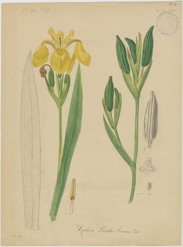 BARLA Jean-Baptiste (attribué à) : Iris des marais, plante à fleurs
