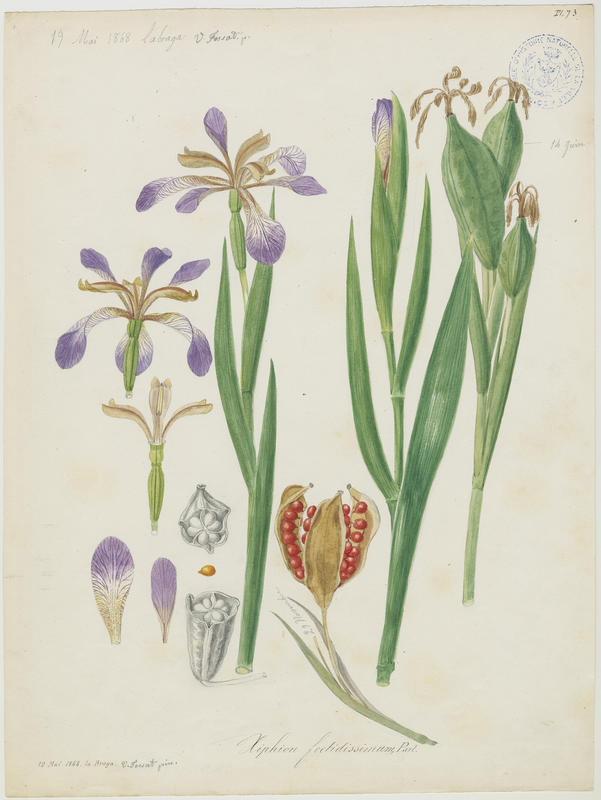 Iris fétide ; plante à fleurs_0