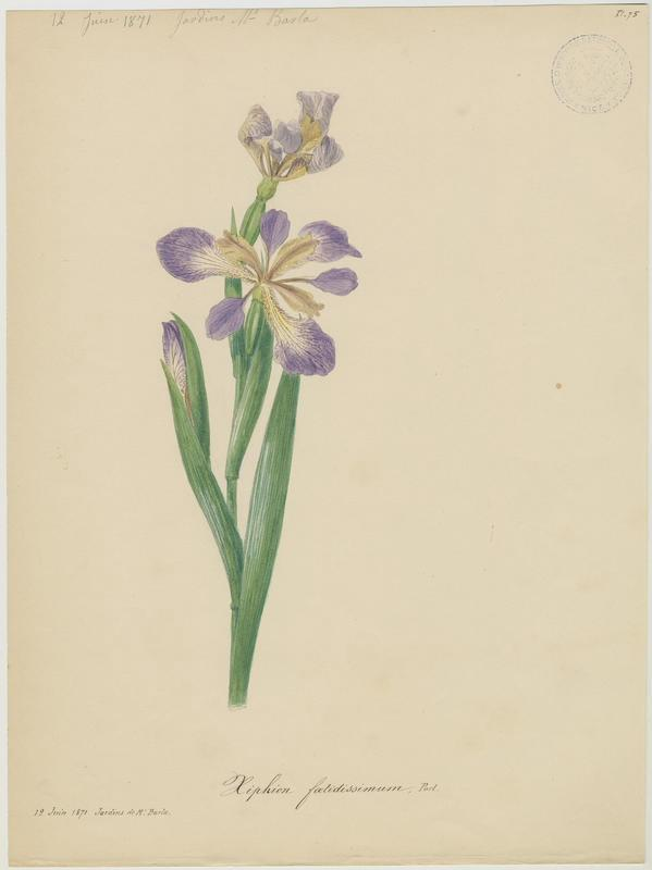 BARLA Jean-Baptiste (attribué à) : Iris fétide, plante à fleurs
