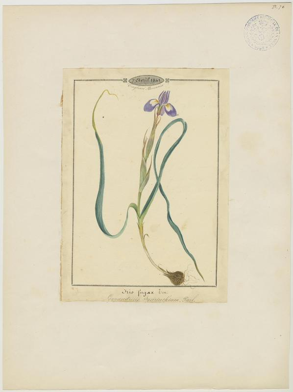 BARLA Jean-Baptiste (attribué à) : Iris faux sisyrhinque, plante à fleurs