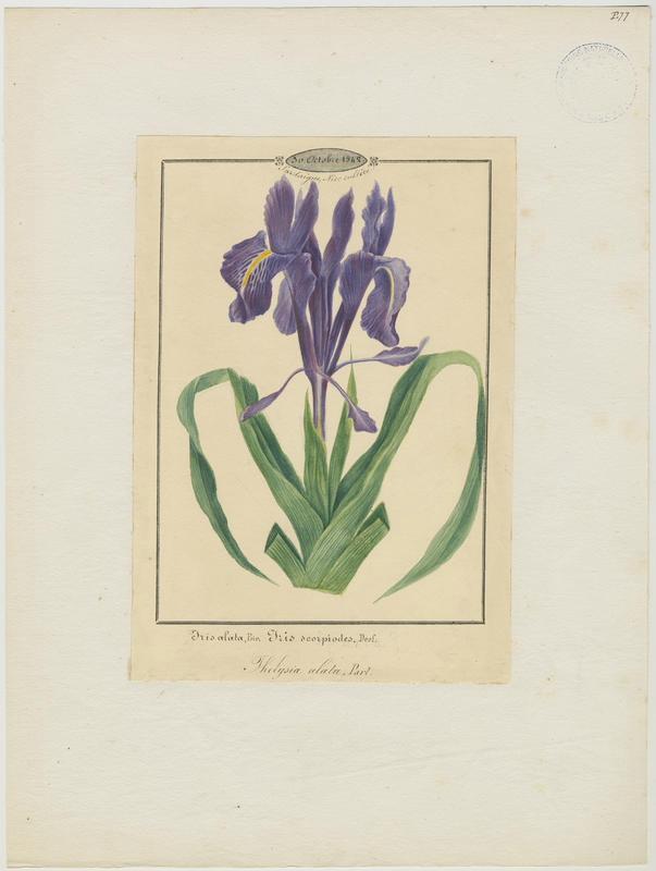 BARLA Jean-Baptiste (attribué à) : Iris planifolia, plante à fleurs