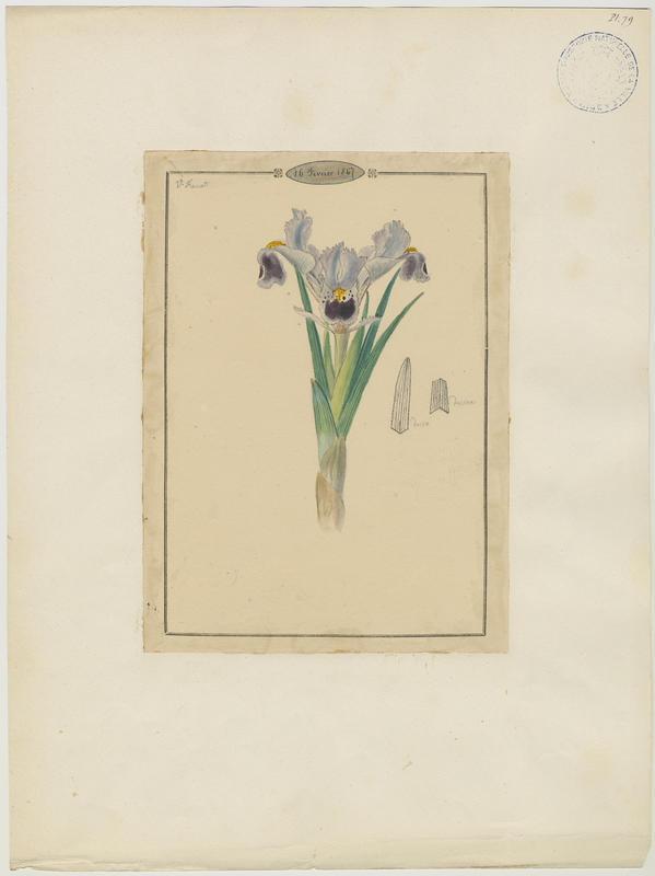 Iris ; plante à fleurs
