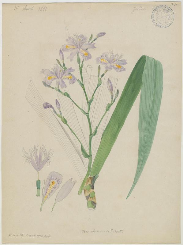 Iris de Formose ; plante à fleurs_0