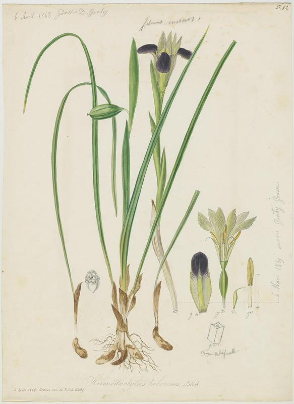 BARLA Jean-Baptiste (attribué à) : Iris des serpents, doigt d' Hermes,  Iris à tête de serpent, plante à fleurs