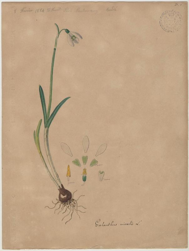 Perce-neige ; Goutte de lait ; Clochette d'hiver ; Galanthine ; Galanthe des neiges ; plante à fleurs_0
