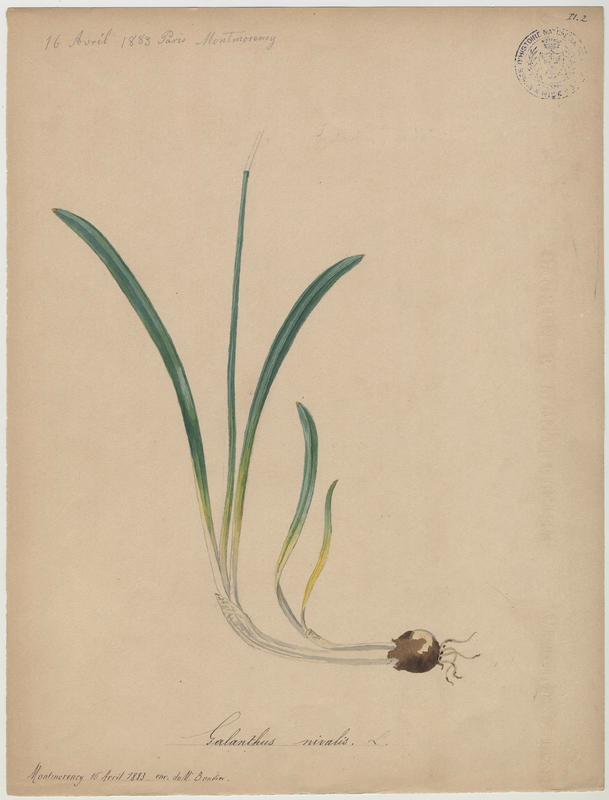 Perce-neige ; Goutte de lait ; Clochette d'hiver ; Galanthine ; Galanthe des neiges ; plante à fleurs