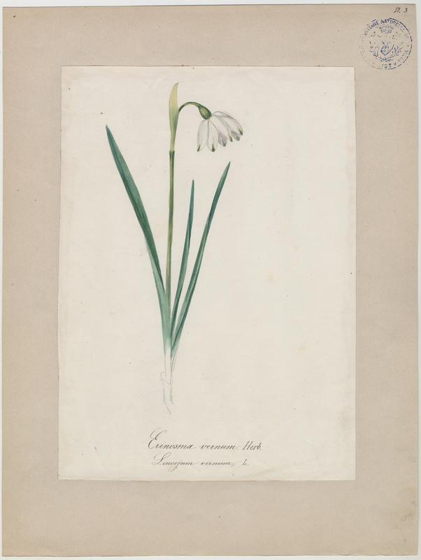BARLA Jean-Baptiste (attribué à) : Nivéole de printemps, Nivéole printanière, plante à fleurs
