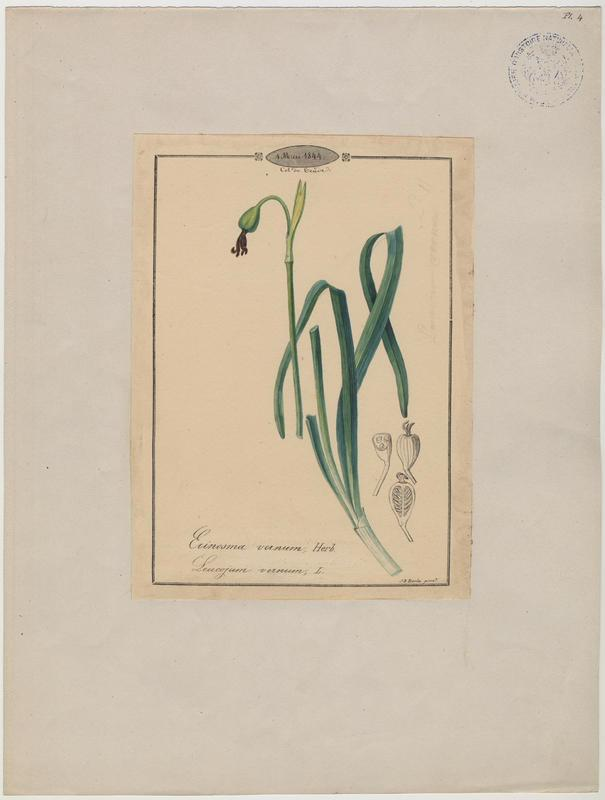 BARLA Jean-Baptiste : Nivéole de printemps, Nivéole printanière, plante à fleurs