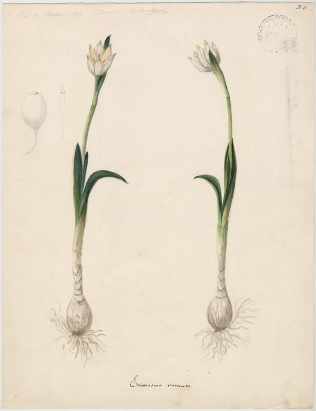 Nivéole de printemps ; Nivéole printanière ; plante à fleurs