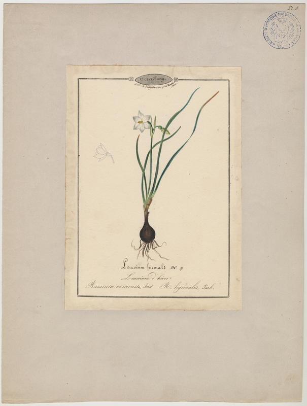 Leucoium d'hiver ; Nivéole de Nice ; plante à fleurs_0