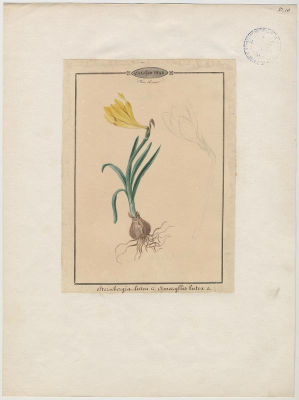 BARLA Jean-Baptiste (attribué à) : Vendangeuse, plante à fleurs