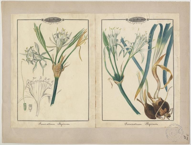 Pancrace d'Illyrie ; plante à fleurs_0