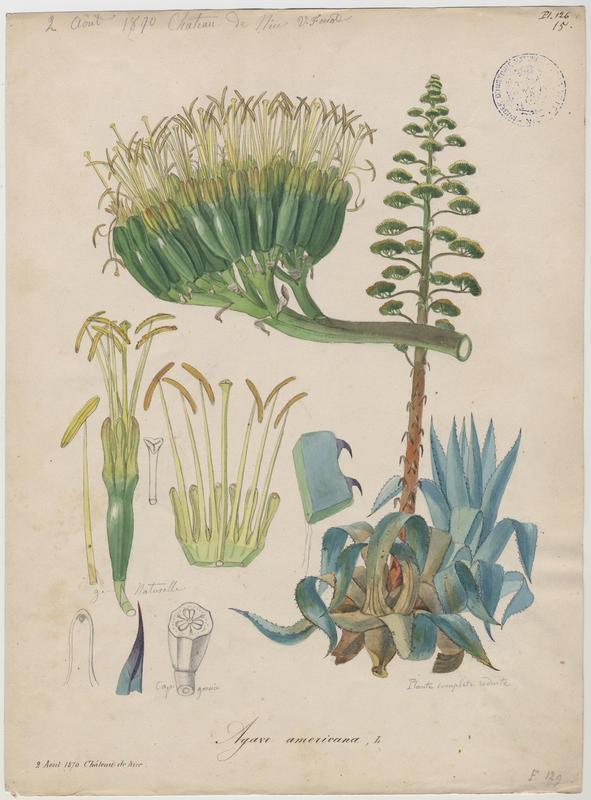 FOSSAT Vincent (aquarelliste, peintre) : Agave d'Amérique, plante à fleurs
