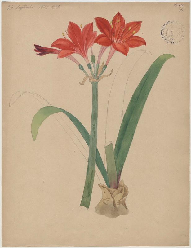 FOSSAT Vincent (aquarelliste, peintre) : Amaryllis, plante à fleurs