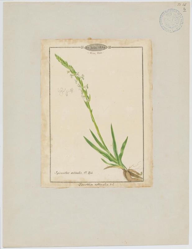 Spiranthe d'été ; plante à fleurs_0