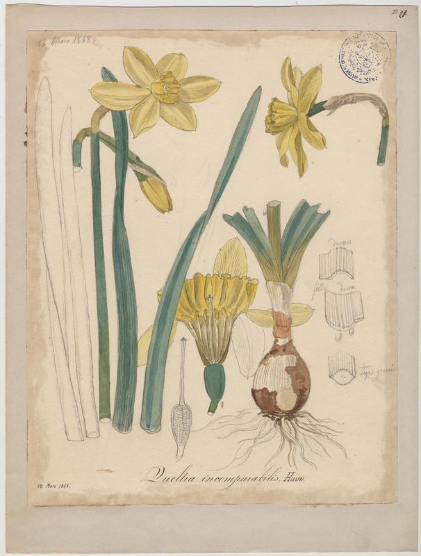 BARLA Jean-Baptiste (attribué à) : Narcisse incomparable, plante à fleurs