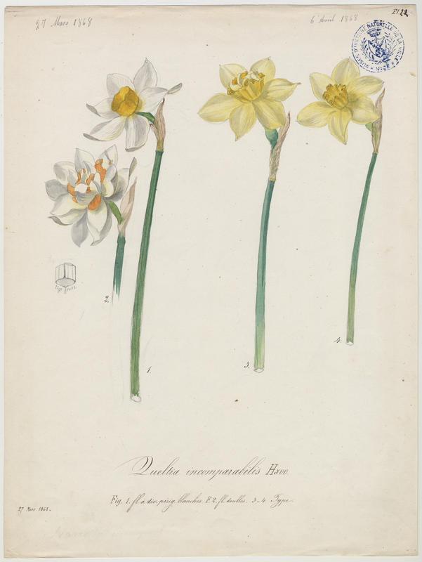 Narcisse incomparable ; plante à fleurs_0