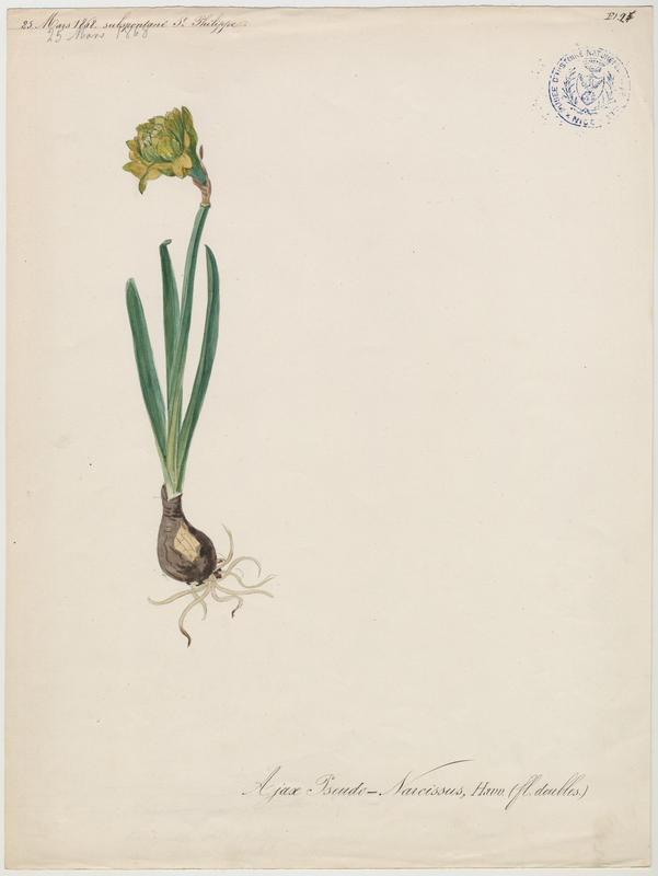 Narcisse des bois ; Narcisse jaune ; plante à fleurs