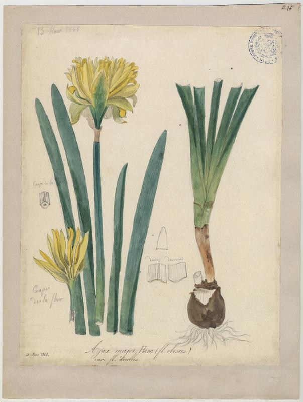 BARLA Jean-Baptiste (attribué à) : Narcisse des bois, Narcisse jaune, plante à fleurs