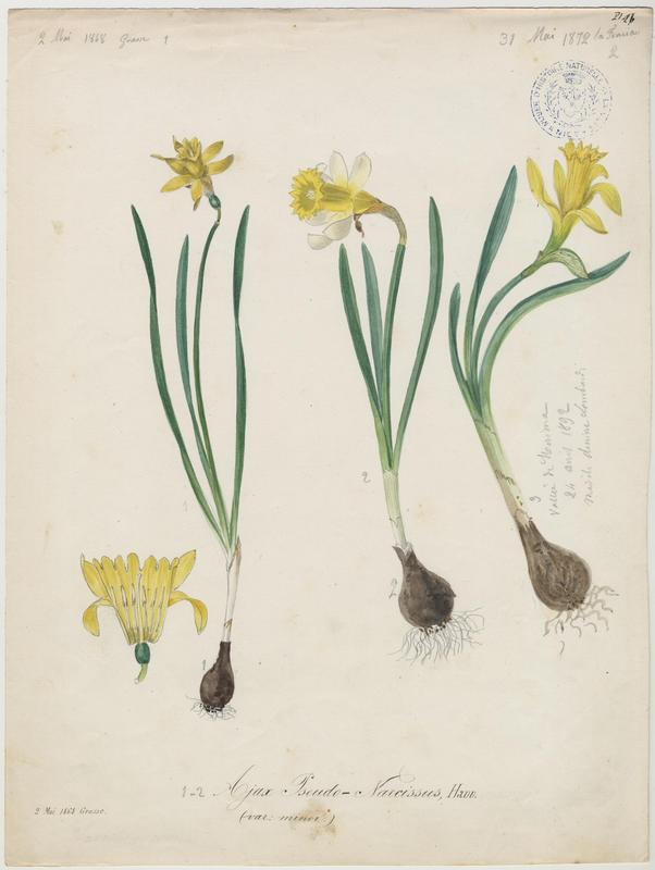 Narcisse des bois ; Narcisse jaune ; plante à fleurs_0