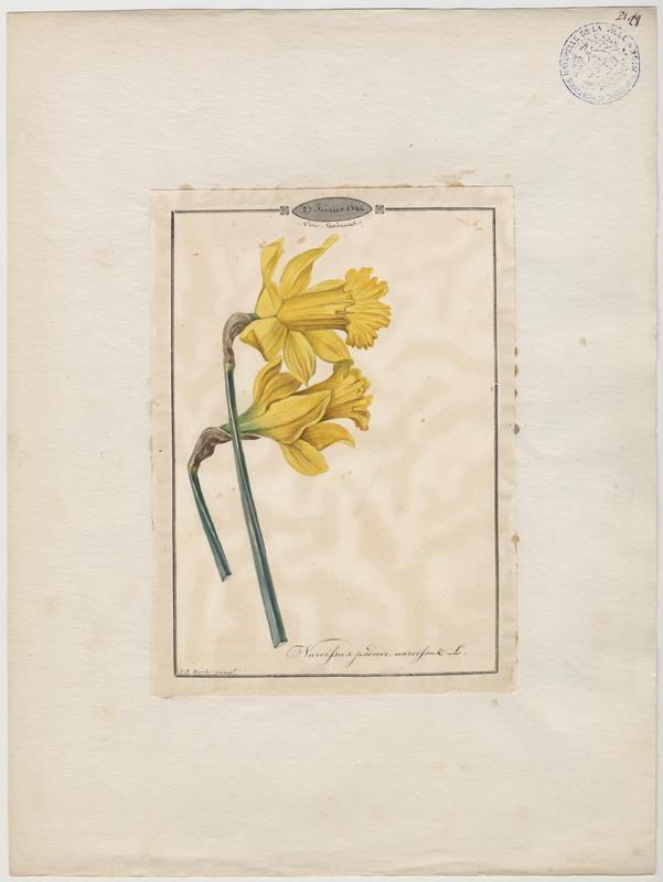 BARLA Jean-Baptiste : Narcisse des bois, Narcisse jaune, plante à fleurs