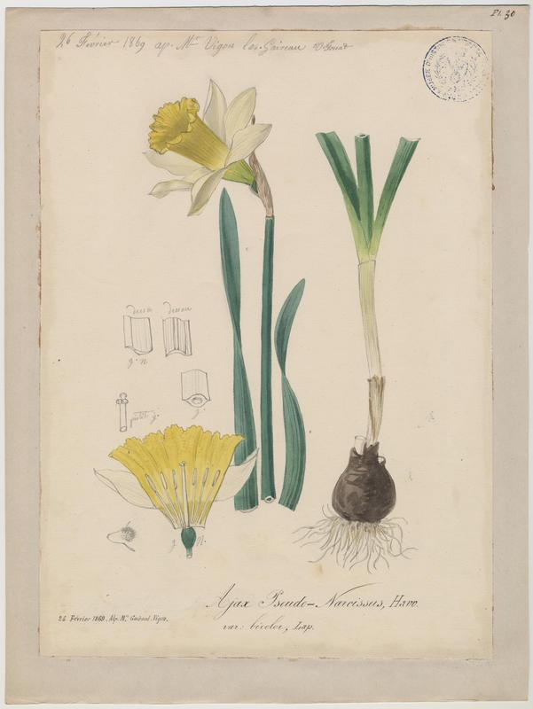 FOSSAT Vincent (aquarelliste, peintre) : Narcisse des bois, Narcisse jaune, plante à fleurs